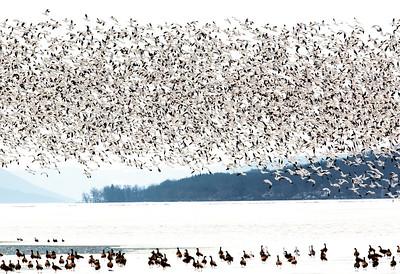 geese watching geese