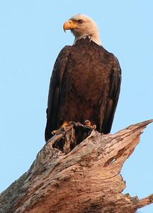 florida eagle