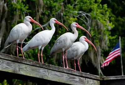ibis in america
