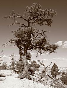 sepia desert tree