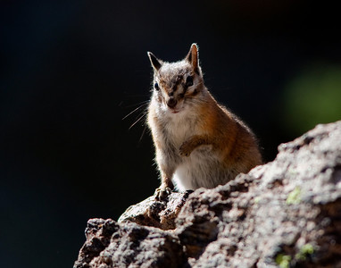 western chipmunk portrait