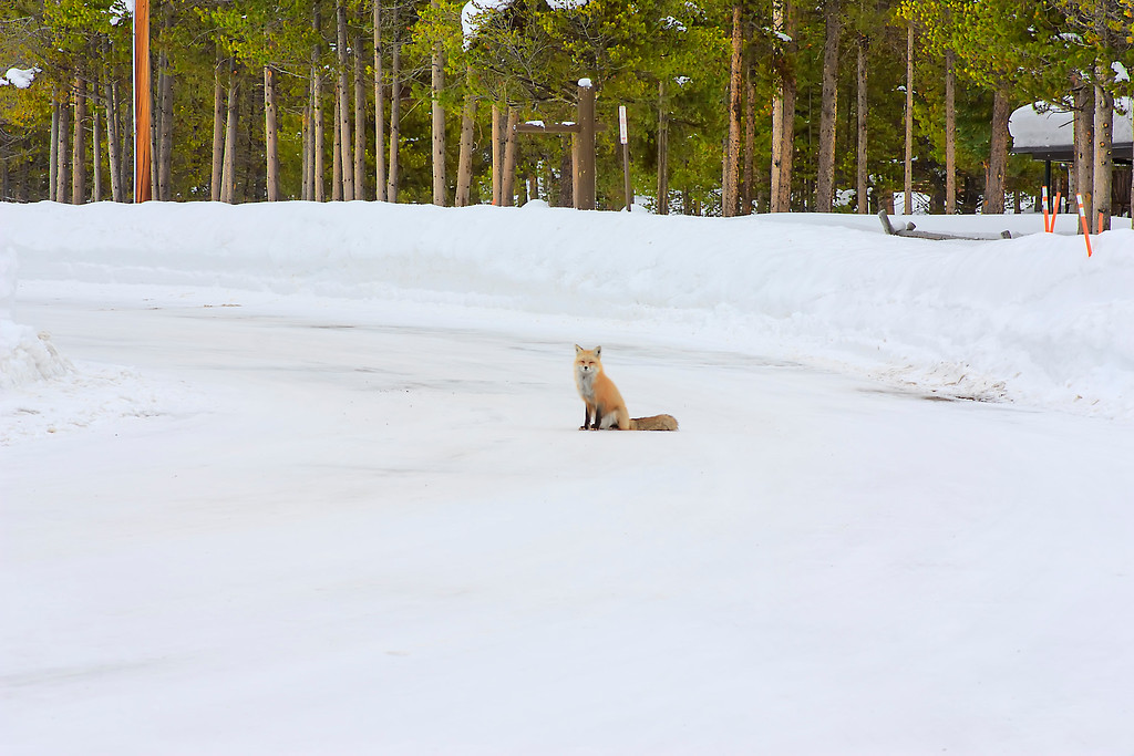 Red Fox Grand teton National Park, Wyoming.
