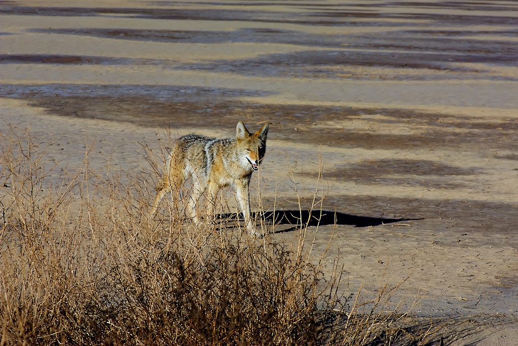 Mr. or Mrs Coyote, the other half is not in this scene just a little outside the frame.