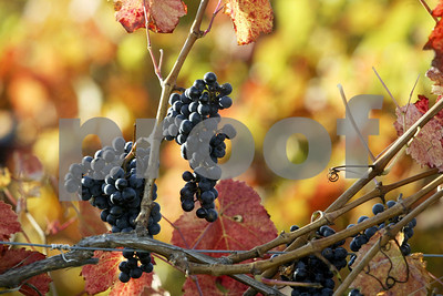 Fall foliage and grape harvest. Taken near Seneca Shore Wine Cellars on Route 14 in the town of Benton in Yates County 10/15/06