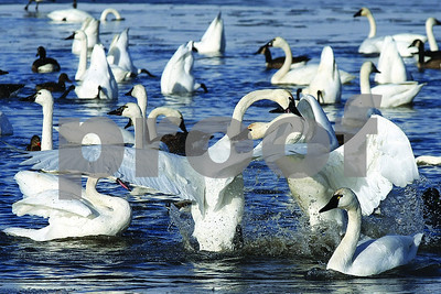 Spencer Tulis Dozens of feathered friends of all kinds gathered at the boat launch by the park police office on Lower Lake Road in Seneca Falls Wednesday as two swans in particular do battle with one another.