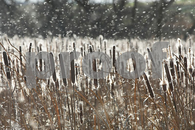 Spencer Tulis/Finger Lakes Times  It looks like its snowing outside but it is actually a field of cattails going to seed along Tileyard Road in the town of Phelps.
