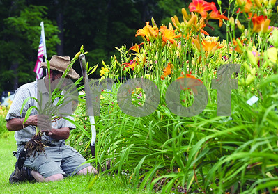 Spencer Tulis/Finger Lakes Times Walter Howell helps out at the Annual Grace Gardens Open House Saturday. Over 1500 varieties of hybrid day lilies are in full bloom and also for sale. The gardens are open for business Wednesday through Sunday on Angus Road in Penn Yan.