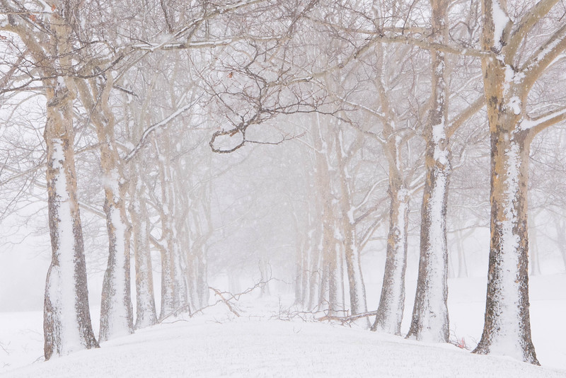 Sycamores in Winter