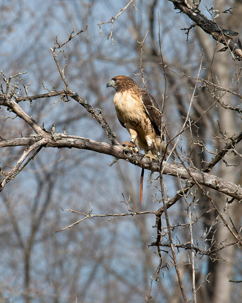 Trained hawk taking part in a research project with the Cornell Lab of Ornithology
