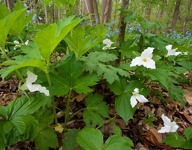Trillium in the Mundy WildFlower Preserve at Cornell University