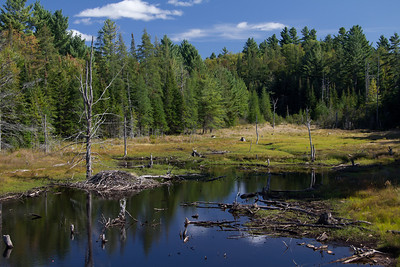 Beaver habitat near Long Lake in the Adirondacks