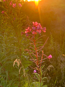 Sunset flowers, Jurmo, Finland