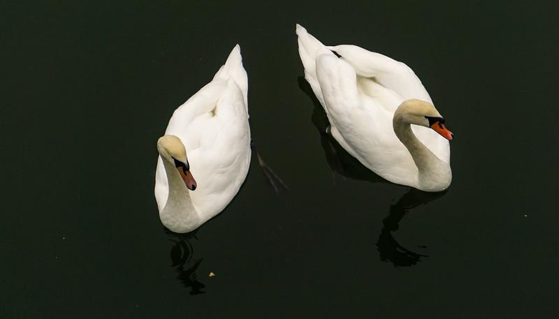 Swans, Seurasaari, Helsinki