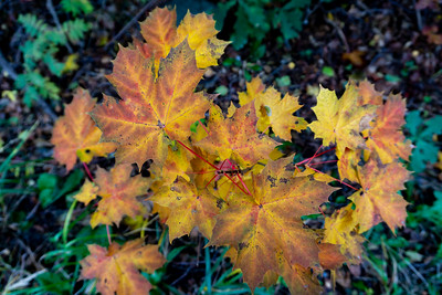 Maple leaves, Helsinki