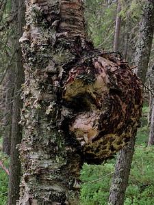 Birch malformation, Syöte National Park