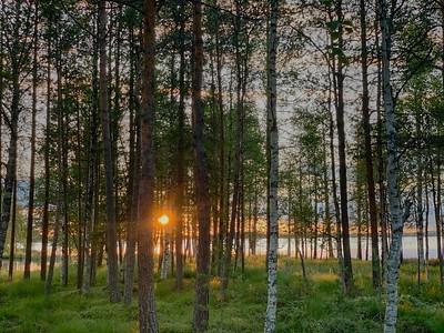 Sunset through birch and pine