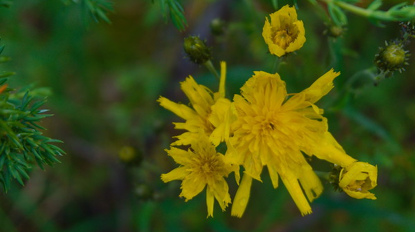 Flower, Syöte National Park