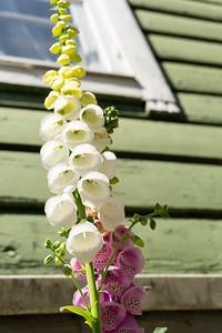 Flowers, Old Porvoo