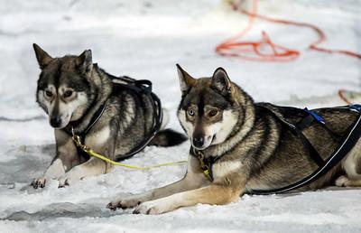 Reindeer And Huskies