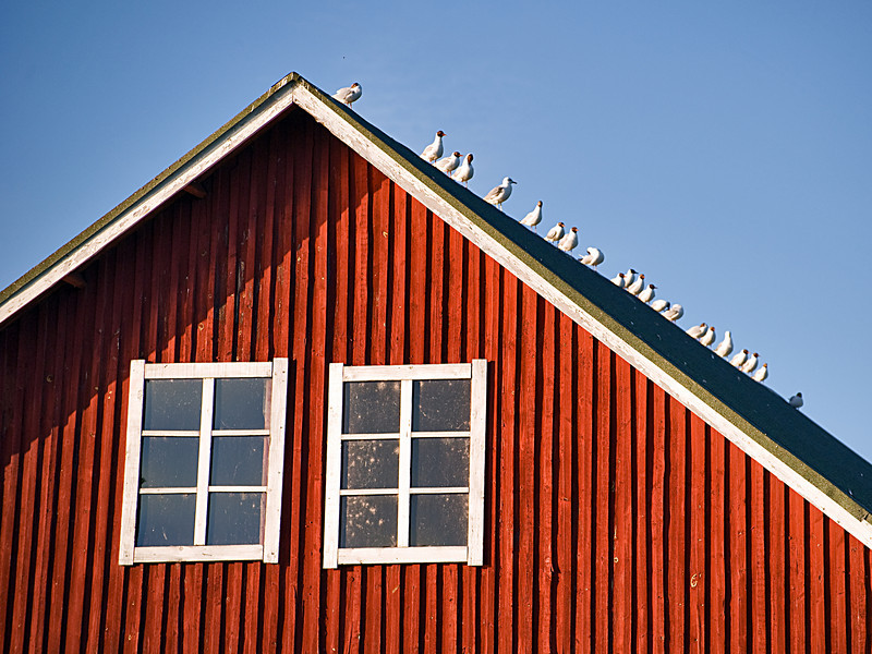 Wednesday, July 7, 2010<br /> <br /> Gulls line the peak of a Finnish Barn on the Kemijoki,  Rovaniemi, Finland.