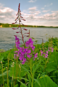 Flower on the Kemijoki