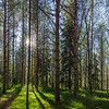 Panorama of the forest in Finland.