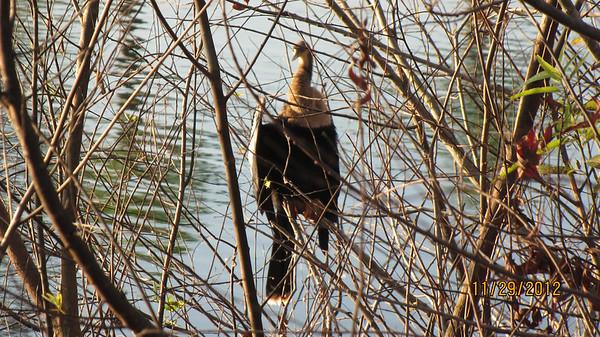 A female Anhinga seen at the lake near our home