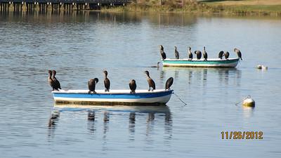 Cormorants are seen everywhere.