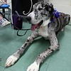 Fiona a Great Dane visited Angela Gill's Special Education classroom at Reingold Elementary School on Friday morning with her owner Helen Donlan. SENTINEL & ENTERPRISE/JOHN LOVE