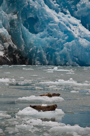 seals and icebergs in the Tracy Arm Fjord