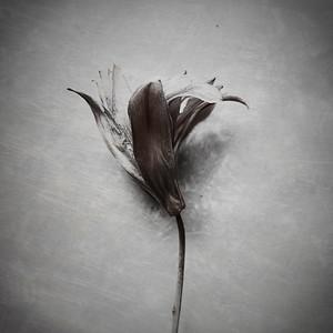 Fiori Morti — Lily