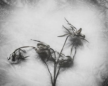 Fiori Morti — Daisies