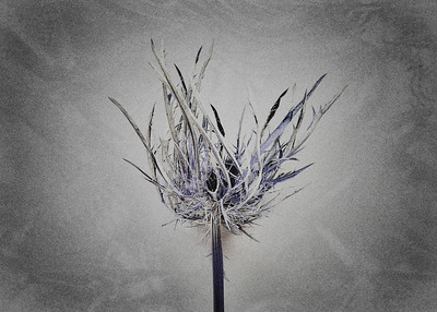 Fiori Morti – Thistle