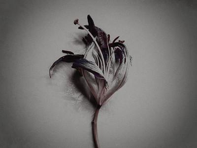 Fiori Morti – Lily