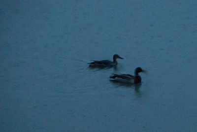 There was so much water in the green space behind our house that ducks showed up to swim in it!