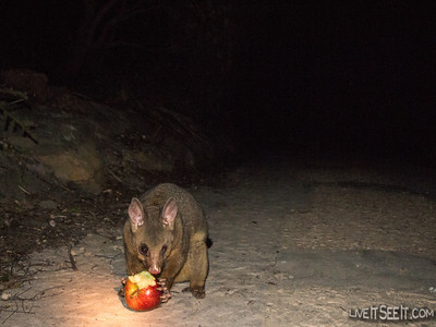 This possum raided our work area on the headland for a midnight snack!