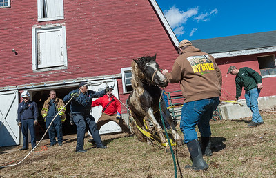 Members of the Disrict 8 Tech Rescue Team struggle to upright Rosie, a 3 ½ year old horse after she fell in her barn at the Lazy Day Farm in Rutland. Rosie was sedated by a veteranarian, dragged out of the barn on a speacialized sled, then uprighted when the sedation began to wear off. © Jim Marabello