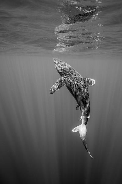 Mother Shark