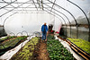 HOLLY PELCZYNSKI - BENNINGTON BANNER Scout Proft, owner of Someday Farm in East Dorset collects micro greens and spinach greens in her farm greenhouse, on the first day of Spring, on Tuesday afternoon.