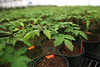 HOLLY PELCZYNSKI - BENNINGTON BANNER A touch of Spring. Clear Brook Farms in Shaftsbury prepares tomato plants and hanging baskets on the first day of the Spring season.