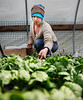HOLLY PELCZYNSKI - BENNINGTON BANNER Gardener Angela Saccamango, collects spinache greens while working at Someday Farm in East Dorset on Tuesday, the first day of the Spring season.