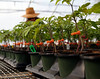 HOLLY PELCZYNSKI - BENNINGTON BANNER A touch of Spring. Clear Brook Farms in Shaftsbury prepares Tomato plants on the first day of the season.