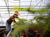 HOLLY PELCZYNSKI - BENNINGTON BANNER Becca Knouss, gardener at Clear Brook Farms in Shaftsbury trims and cuts tomato plants to prepare for the Summer vegetable season, on Tuesday afternoon, the first day of Spring.