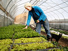 HOLLY PELCZYNSKI - BENNINGTON BANNER Scout Proft, owner of Someday Farm in East Dorset collect micro greens in her farm greenhouse, on the first day of Spring, on Tuesday afternoon.