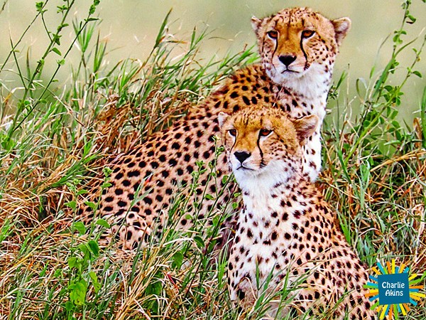 Cheetahs by Paul McCroskey at the Academy Center of the Arts