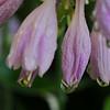 Hosta Blooms Weeping