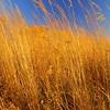 Wheat, Boone County Arboretum