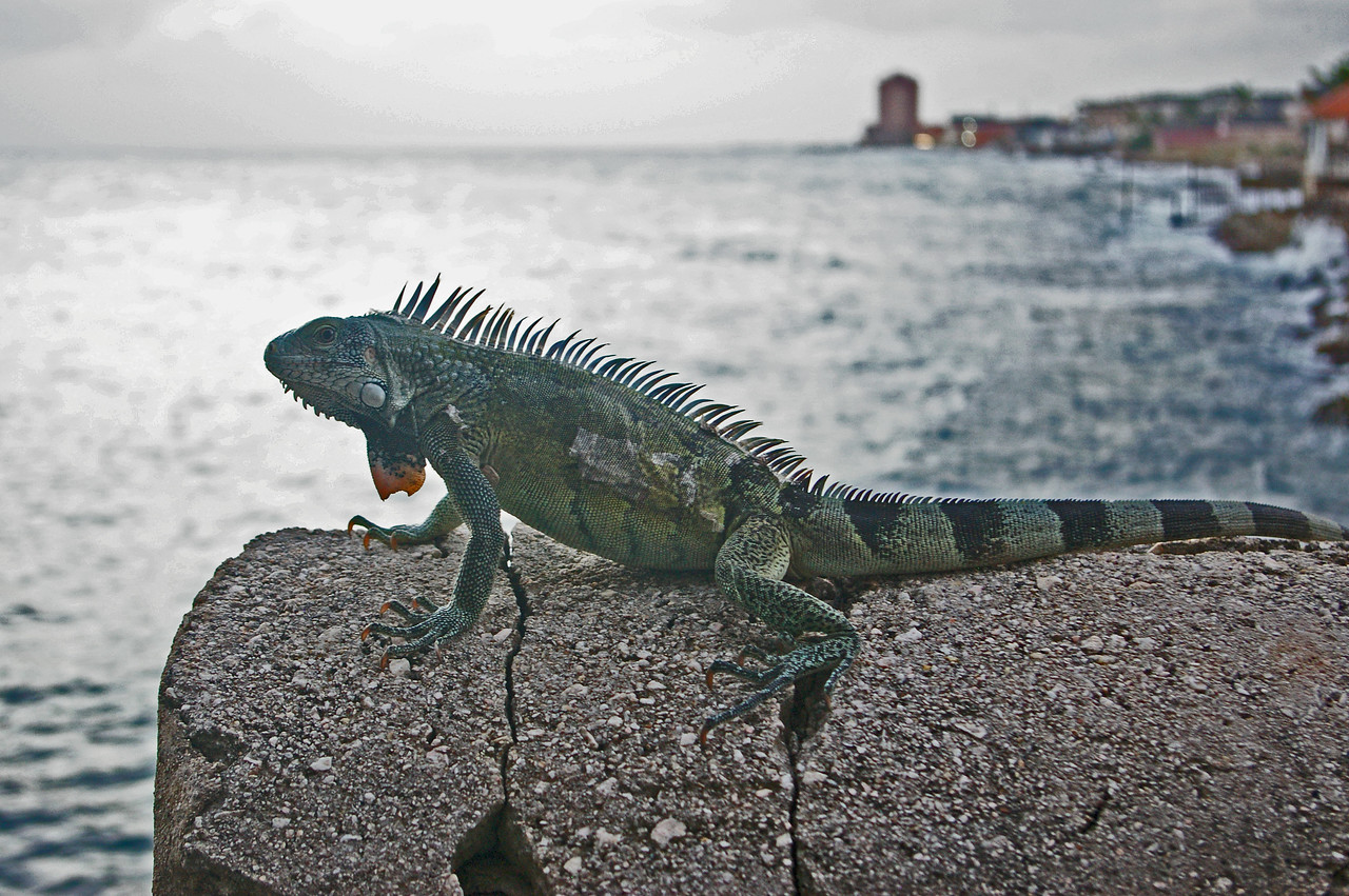 Iguana on deck
