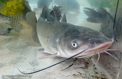 More than 7,000 lbs. of catfish were planted in Horseshoe Lake Friday for the 29th annual Hooked on Fishing Not on Drugs event which starts Saturday at 7:00 a.m. at Upper Bidwell Park in Chico, Calif.  (Bill Husa -- Enterprise-Record)