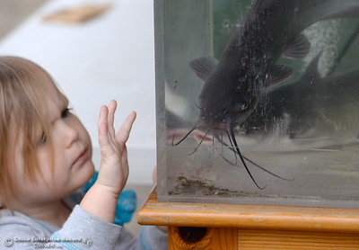 3-year-old Kaylynn Collins of Corning checks out some of the fish on display in fishtanks Friday. More than 7,000 lbs. of catfish were planted in Horseshoe Lake ranging is size from 1 lb. to 10 lbs. for the 29th annual Hooked on Fishing Not on Drugs event which starts Saturday at 7:00 a.m. at Upper Bidwell Park in Chico, Calif.  (Bill Husa -- Enterprise-Record)